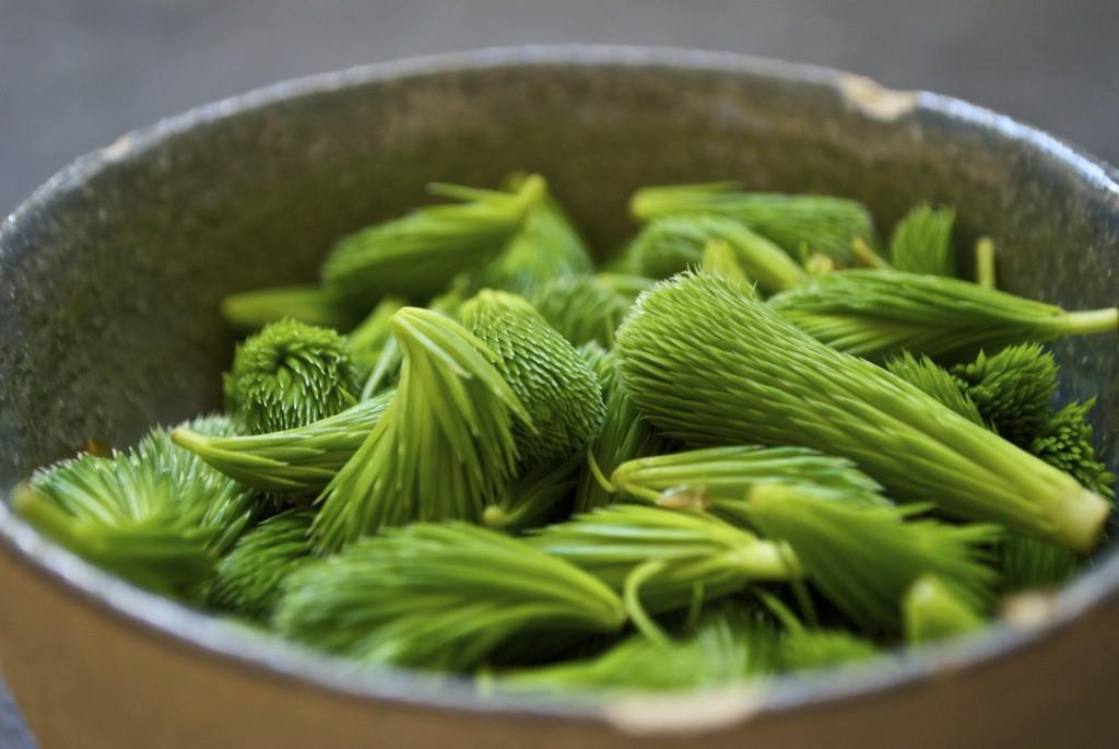 Hjemmelavet gransnaps, grannålesnaps og enenålesnaps er lækker aromatisk og akvavit